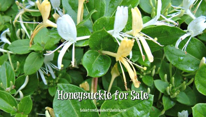 honeysuckle 1